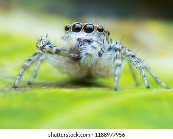 Super macro image of Jumping spider (Salticidae) on green leaf, at 3.5X magnification, Good tone sharpen and detailed, eye and face very clear.