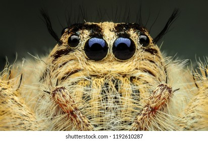 Super macro image of Jumping spider (Salticidae, Hyllus diardi female), at 5X magnification, Good sharpen and detailed, eye and face very clear.