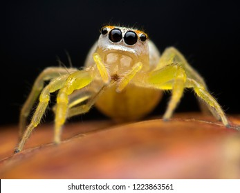 Super macro image of Jumping spider (Salticidae), at 3X magnification, Good sharpen and detailed, eye and face very clear.