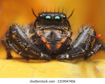 Super macro image of Jumping spider (Salticidae, Hyllus diardi SP female), at high magnification, Good sharpen and detailed, eye and face very clear.This wildlife insect from asia thailand.