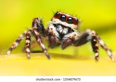 Super macro image of Jumping spider(Salticidae) at high magnification, very sharp and detailed, eye and face very clear.This wildlife insect from asian thailand.