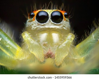 Super macro image of Jumping spider(Salticidae) at high magnification, very sharp and detailed, eye and face very clear.This wildlife insect from asian thailand. Take image with macro equipment.