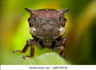 Super macro image of Strange Tree Hoppers (Membracidae) at 5X magnification , very sharp and detailed, eye and face very clear.This insect from asia thailand , take picture with super macro equipment.