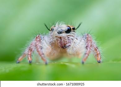Super Macro Jumping Spider, Hyllus diardi, Woman Jumping On green Background.Beautiful Jumping Spider.