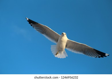 Super macro photo of a white seagull in flight in the blue sky