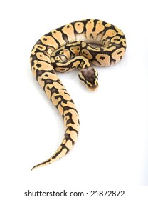 Super Pastel Ball Python (Python regius) on white background.