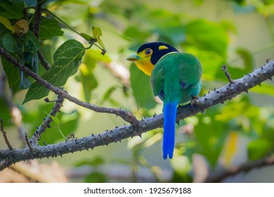 Super portrait of  Long-tailed Broadbill ( Psarisomus dalhousiae (Jameson, 1835) )  in real nature at KY NP , Thailand.  - Shutterstock ID 1925679188