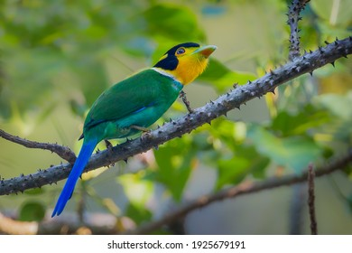 Super portrait of  Long-tailed Broadbill ( Psarisomus dalhousiae (Jameson, 1835) )  in real nature at KY NP , Thailand.  - Shutterstock ID 1925679191