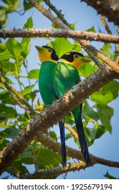 Super portrait of  Long-tailed Broadbill ( Psarisomus dalhousiae (Jameson, 1835) )  in real nature at KY NP , Thailand.  - Shutterstock ID 1925679194