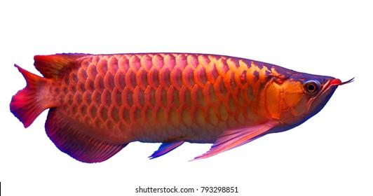 The super red Arowana fish on white background.