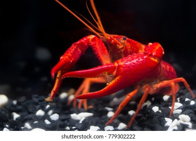 Super Red Crayfish Show Power Fish Stock Photo Edit Now 779302195