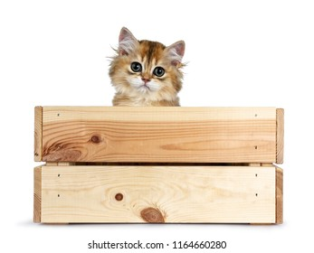 Super sweet golden British Longhair cat kitten with big green eyes, sitting in a wooden crate / box peeping out adorable over the edge straight to camera isolated on white background