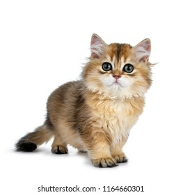 Super sweet golden British Longhair cat kitten with big green eyes, standing a bit side ways, looking beside the camera isolated on white background with tail hanging down