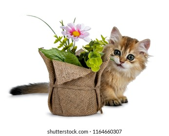 Super sweet golden British Longhair cat kitten with big green eyes, hiding behind a fake flower pot looking adorable to camera isolated on white background