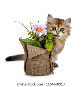 Super sweet golden British Longhair cat kitten with big green eyes, sitting behind a fake flower pot looking adorable to camera isolated on white background, biting on e piece of grass