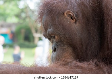 Super sweet portrait of an orangutan. In many ways similar to humans. Cute and hairy.