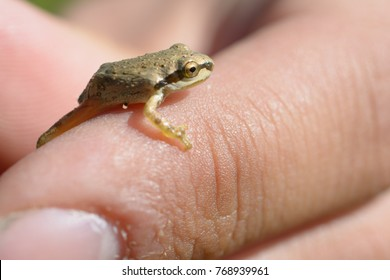 A super tiny brown tree frog sits on the thumb of a human hand.