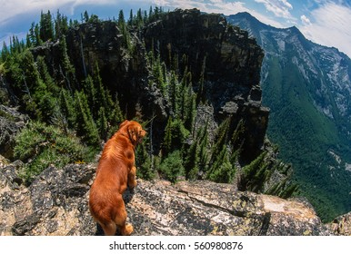 Super wide angle fish eye scene of a big golden retriever standing on the edge of huge big Rocky Mountain cliffs in the Bitterroot Mountains, Montana
