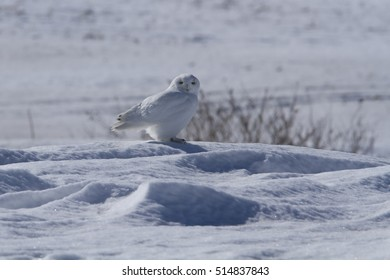 Superb Adult male Snowy Owl (Bubo scandiacus) in winter