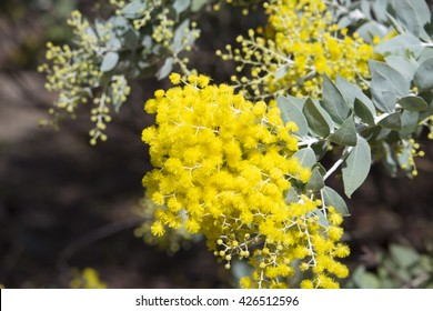 Superb bright yellow fragrant  fluffy  balls of Cootamundra wattle Acacia baileyana  species  flowering in early winter  adds  color and fragrance  to the Australian bush  landscape .