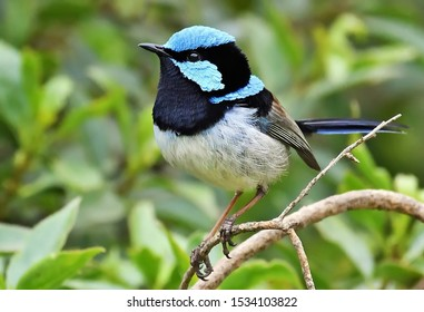 The Superb Fairy Wren is a pas-serine bird in the Australasian wren family and is common and familiar across south-eastern Australia