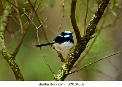 Superb fairywren sit on a tree branch near the Jenolan Caves athe the Blue Mountains in New South Wales, Australia