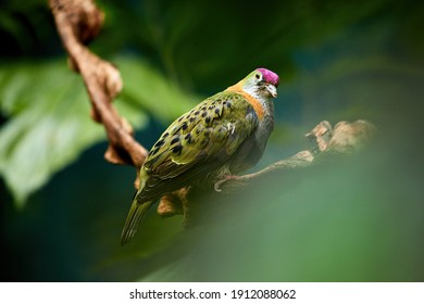 Superb fruit dove, Ptilinopus superbus, colorful dove native to  the rainforests of New Guinea, Australia, Solomon Islands, the Philippines and Sulawesi. Bird in natural environment.