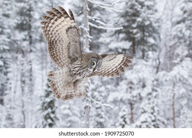 Superb king of taiga forest, great grey owl, Strix nebulosa in flight on a cloudy winter day in Finnish nature, Northern Europe