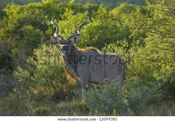 A superb Kudu Bull is surprised out in the open