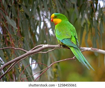 A superb parrot (Polytelis swainsonii), also known as Barraband's parrot, Barraband's parakeet, or Green leek parrot, in Australia. perched in subcanopy of the dry woodlands of New South Wales.