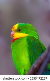 The superb parrot (Polytelis swainsonii), also known as Barraband's parrot, Barraband's parakeet, or green leek parrot, portrait. Portait of the green australian parrot with brown background.