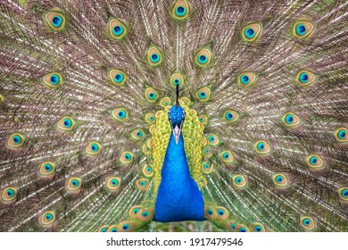 Superb peacock spreading its feathers