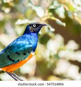 Superb Starling (Lamprotornis Superbus) Bird