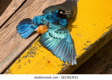 A Superb starling (Lamprotornis superbus) closeup. This species has a very large range and can commonly be found in East Africa. It has a long and loud song consisting of trills and chatters