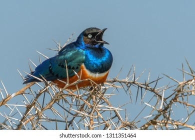 Superb Starling on a spiked branch
