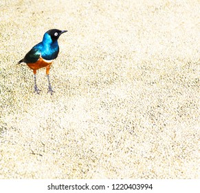 The superb starling s. It can commonly be found in East Africa, including Ethiopia, Somalia, Uganda, Kenya, and Tanzania. It was formerly known as Spreo superbus. Scientific name: Lamprotornis superb