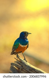 Superb Starling s a small but distinctive bird with metallic greens and blues on its chest, back and wings and duller black on top of its head