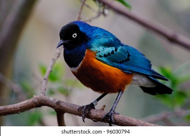 Superb starling in a tree