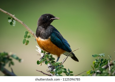 Superb starling turning head on leafy branch