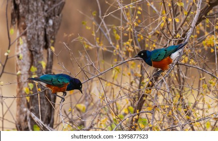 Superb starling two 2 Lamprotornis superbus Spreo superbus on tree branch iridescent colourful bird Samburu National Reserve Kenya East Africa