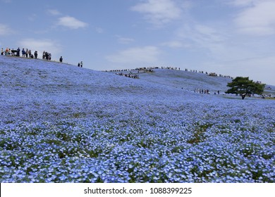 A superb view in Japan.The field of nemophila flowers.This place is Hitachi Seaside Park in Hitachinaka Ibaraki Japan.The middle of April.