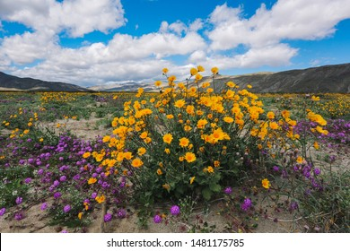A super-bloom of flowers in the Anza-Borrego desert of Southern California.