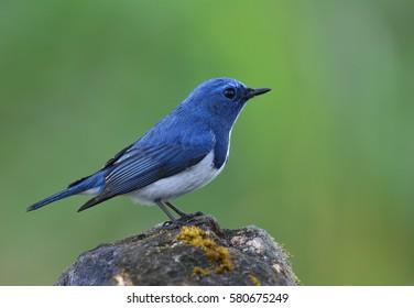 Superciliaris ficedula (Ultramarine Flycatcher) beautiful little blue bird perching on a rock over clean blur green background, exotic nature