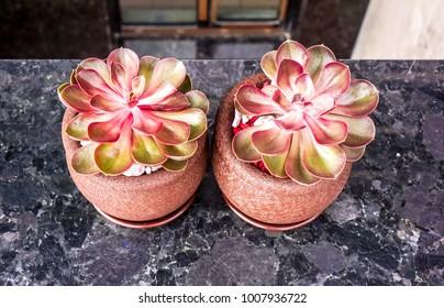 Supervivum Red Rubin Succulent