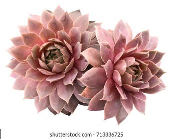Supervivum Red Rubin Succulents