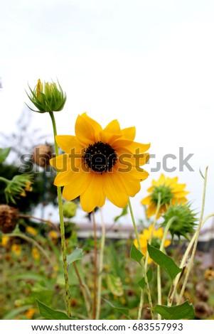surajmukhi flower