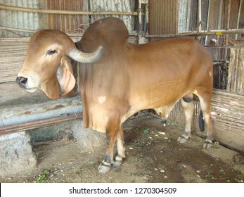 Surat, Gujarat / India - December 8 2018 : Indian Bull