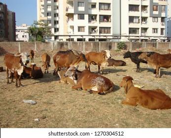 Surat, Gujarat / India - December 8 2018 : Indian Gir cows in a Cowshed (gou shala)