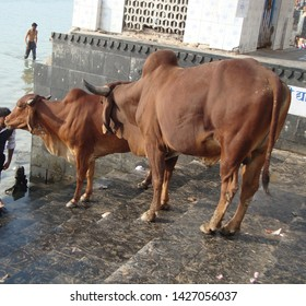 Surat, Gujarat / India - December 8 2018 : Indian Gir Cow