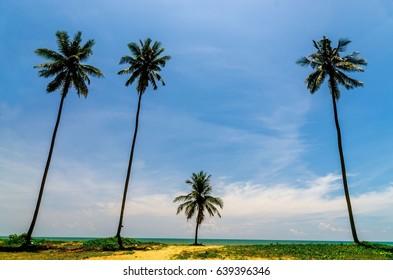 Suratthani lamae beach coconut tree